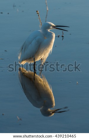 Little egret with open beak in shallows