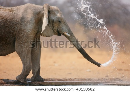 Little elephant spraying water; Loxodinta Africana; Etosha - stock photo