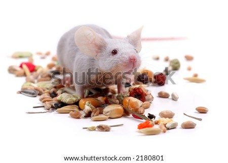 little fancy mouse eating grains - stock photo