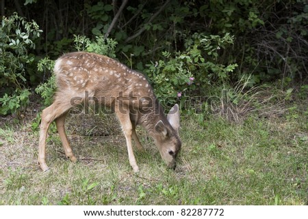 Little Fawn Grazing - stock photo