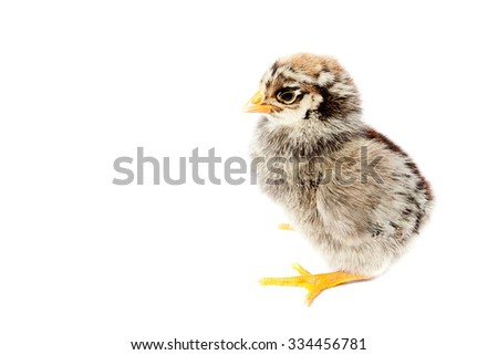 Little fluffy chicken isolated on white background - stock photo