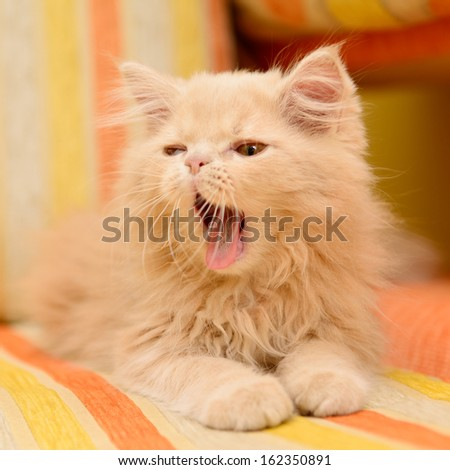 little fluffy Persian kitten lying and yawning on the sofa - stock photo
