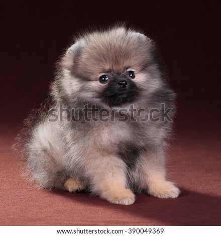 Little fluffy Pomeranian puppy - stock photo