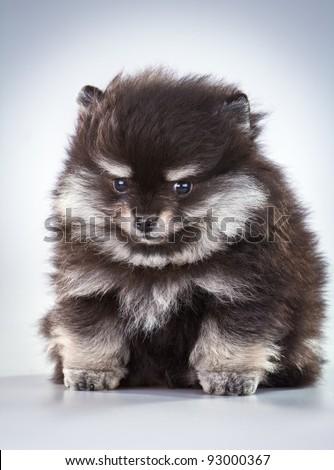 Shih Tzu Poodle Mixed Breed Portrait Stock Photo 94963195