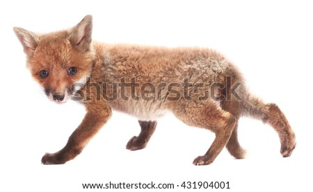 Little fox cub isolated on white background - stock photo