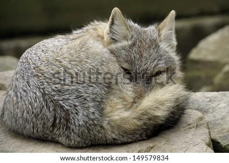 little fox waking stock photo royalty free 149579834 shutterstock