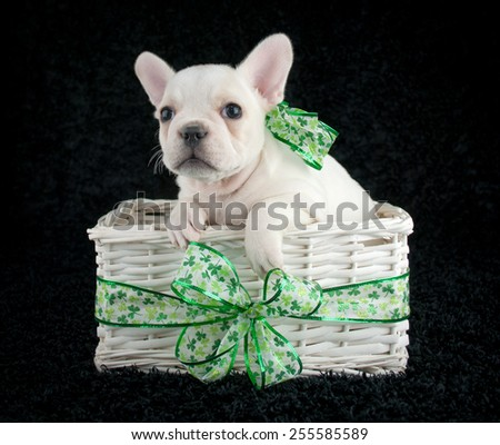 Little French Bulldog puppy sitting in a basket with shamrock ribbon around it wearing a shamrock bow on a black background. - stock photo