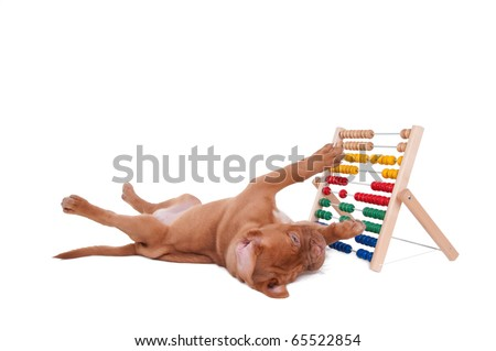 Little French Mastiff puppy is learning to count with abacus isolated - stock photo