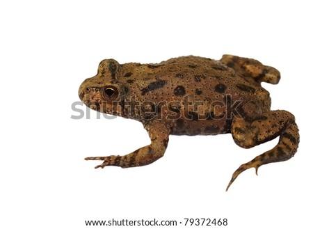 little frog isolated on white background, texture (Marsh Frog, Pelophylax ridibundus) - stock photo