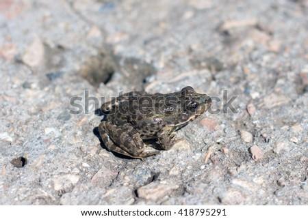 little frog. Marsh frog. European grey toad of gray soil,spring amphibians. - stock photo