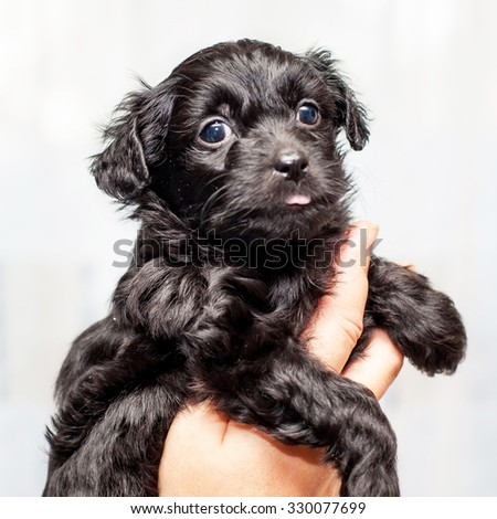 Little funny black Chinese puppy dog in man hand - stock photo