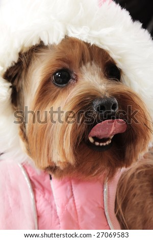 Little funny dog with tongue hanging out  closeup photo