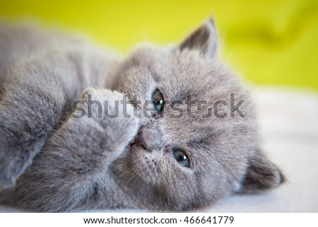 Little funny looking chartreux kitten