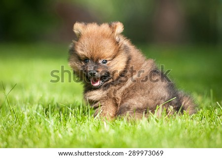 Little funny pomeranian spitz puppy - stock photo