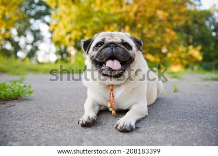 Little funny pug lying on a sidewalk in a summer park. - stock photo