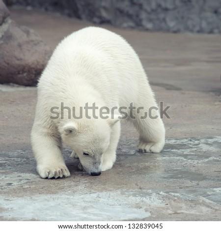 Little funny white polar bear snuff - stock photo