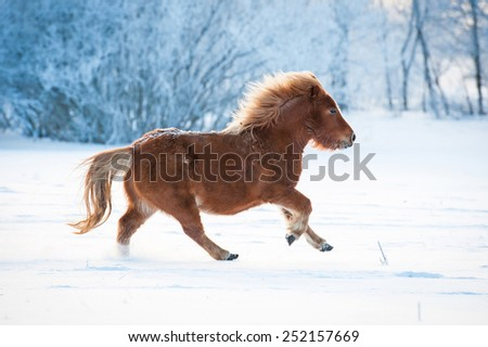 Little furry shetland pony running in winter - stock photo