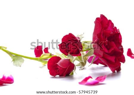 Little garden roses on the branch - stock photo