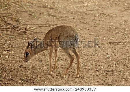 Little gazelle - stock photo