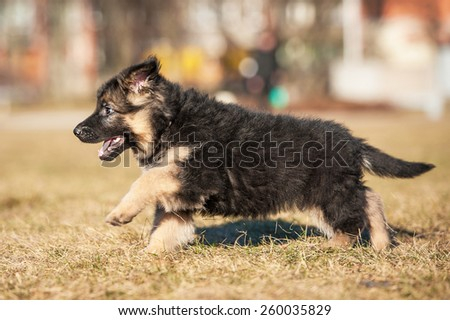 Little german shepherd puppy running in the park - stock photo