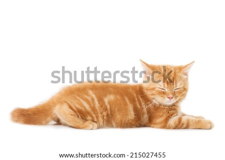 little Ginger british shorthair cats asleep over white background - stock photo