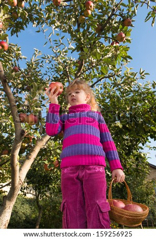 little girl eat ripe apples - stock photo
