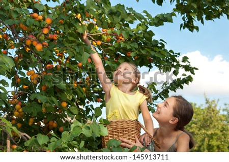 Little girl harvests. Picking apricots - stock photo