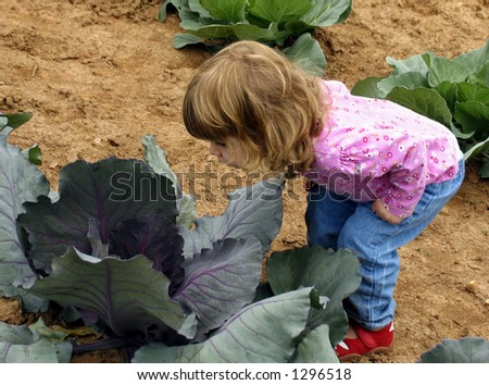 Little girl peering into cabbage in a garden - stock photo