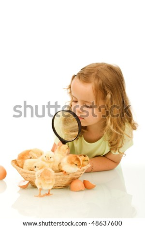 Little girl studying a basketful of fluffy yellow spring chicks - stock photo