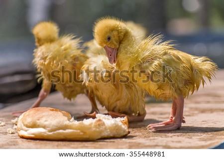 Little goslings. - stock photo
