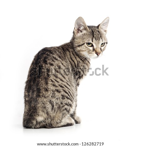 Little gray cat isolated on white background. - stock photo