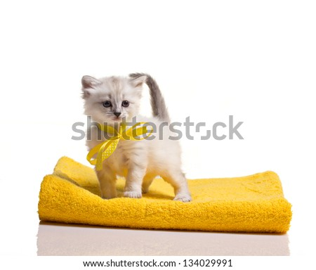 little gray furry  kitten standing on yellow towels on white background - stock photo