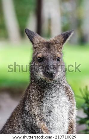 Little gray kangaroo are abstracted - stock photo