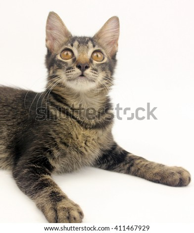 little gray kitten portrait on white background
