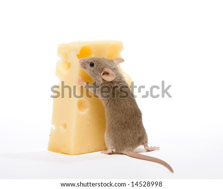 Little gray mouse trying to move a piece of cheese - stock photo