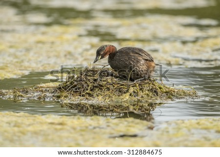 Little grebe standing on its nest on a pond