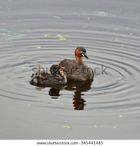 Little grebe, Tachybaptus ruficollis, on a pond with a juvenile