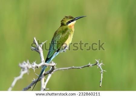 Little Green Bee-eater in Yala West National Park, Sri Lanka - stock photo