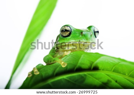 Little green Frog peeking out from behind the leaves - stock photo