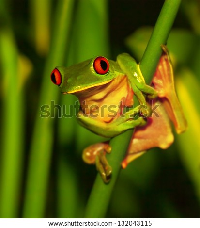 Little green frog with red eyes sitting on exotic plant, wild nature of Costa Rica, Central America, sticky red-eyed toad in the park of rain forest - stock photo