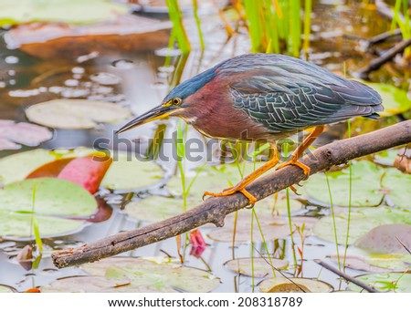 Little Green Heron perched on a log in a pond fishing for prey. - stock photo