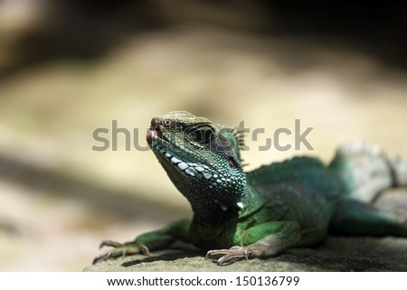 Little green iguana in the zoo