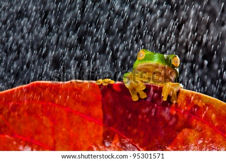 Little green tree frog sitting on red leaf in rain - stock photo