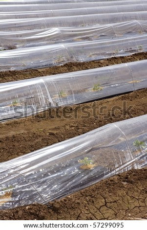 little greenhouse glass house plastic lines vegetable sprouts on brown soil agriculture - stock photo