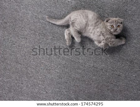 little grey british kitten playing, lying on grey cover  and looking up   - stock photo