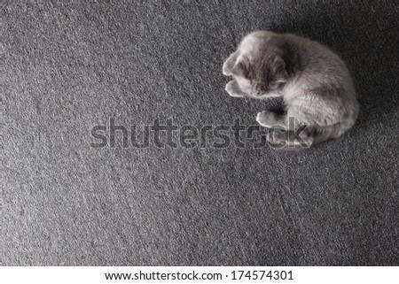 little grey british kitten playing, lying on grey far cover   - stock photo