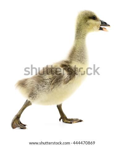 Little grey gosling isolated on white background. - stock photo
