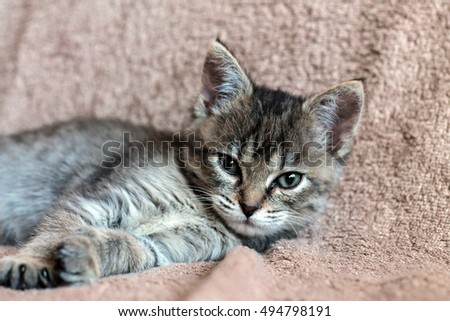 little grey kitten lying on a beige plaid. little cute cat.