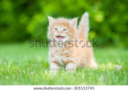 Little grey kitten meowing - stock photo