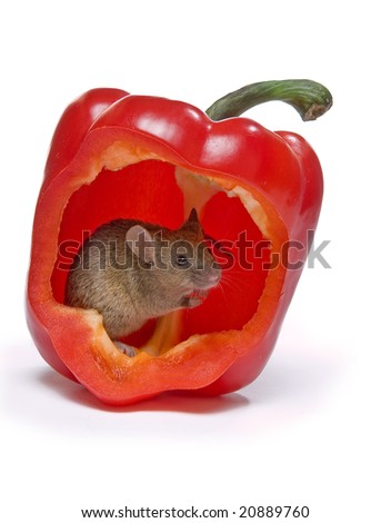 Little grey mouse hiding in a hot red pepper - stock photo